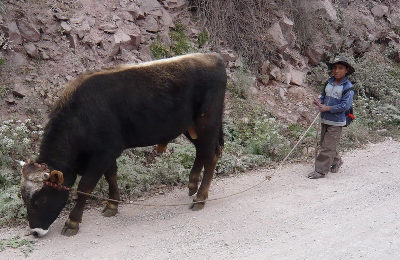 Boy and bull on roadside